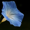 True Blue Morning Glory