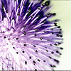 Thistle Gone Wild ( what I did is a mystery to me ! )
