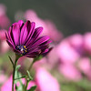 African Daisy with Bubblegum petunias
