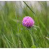 VT state flower -Red Clover