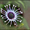 Osteospermum with overlay