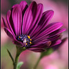 African daisy -cropped & touched up in PS