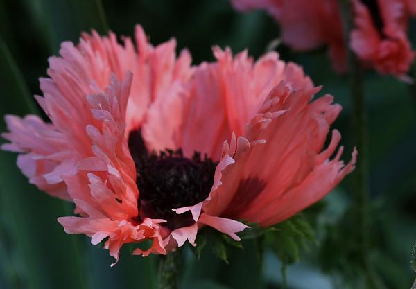Peach Poppy