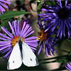 European Cabbage White (Pieris rapae)