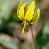 Dog Tooth Violet (also called Trout Lily )