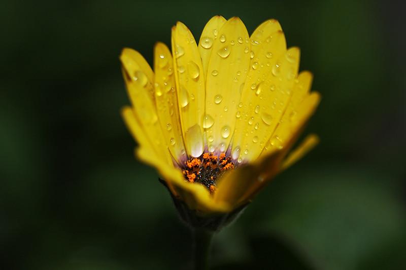 African Daisy (Osteospermum)