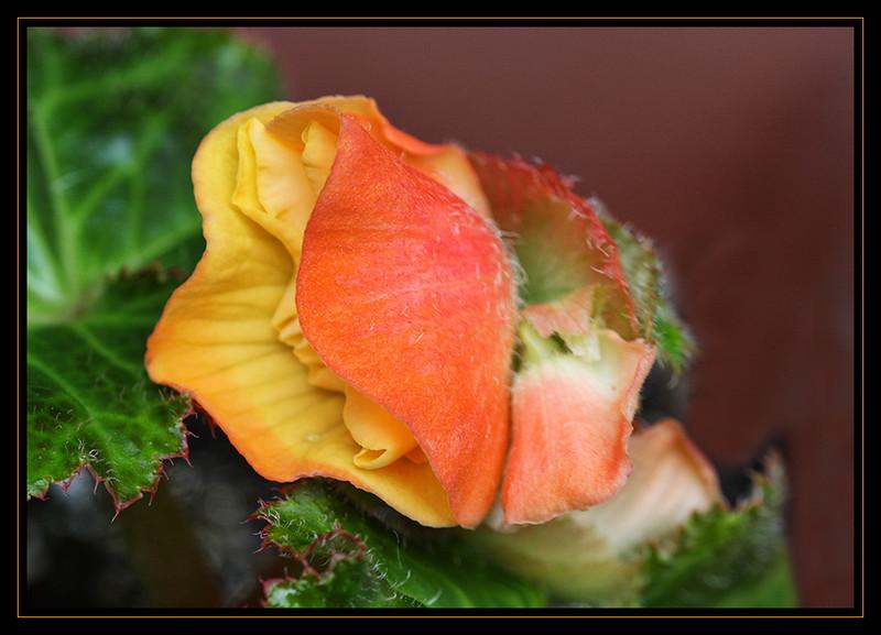 Tuberous Begonia Opening