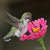 Ruby-Throated Hummingbird at Zinnias