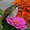 Ruby-throat sitting on Zinnia