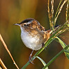 Marsh Wren at Snake Creek Marsh 9/23/11