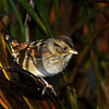 Swamp Sparrow at Snake Creek Marsh 9/23/11
