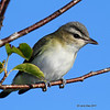 Red-eyed Vireo in my yard- 8/29/11