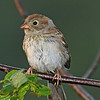 Young Field Sparrow, free flying, but still begging food from moma.  Taken in my yard - Boone Co 8/31/11