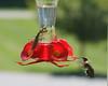 Hummingbird v Mantis on feeder