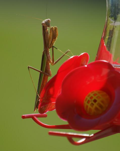 Mantis on hummingbird feeder