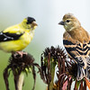 Young and Old Goldfinch