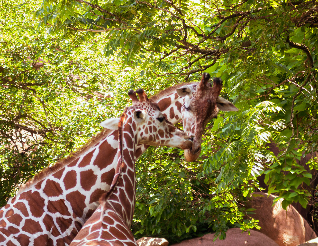 Summer days at the St. Louis Zoo, June, 2015.