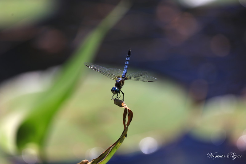 點水蜻蜓款款飛