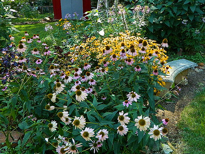 Our backyard mound was abundant with coneflowers, black eyed susans, cleomes and woodland sunflowers this year.