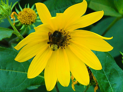 Close up of a bumble bee on the woodland sunflower.