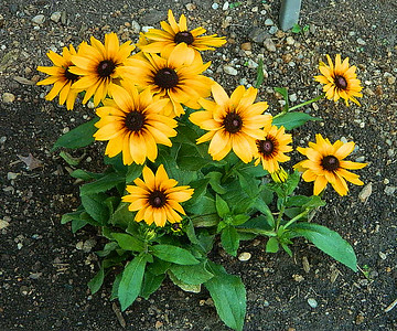 A new hybrid; echinbeckia - a cross between echinacia and black eyed susan.