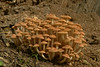 Armillaria mellea; Honey Mushroom