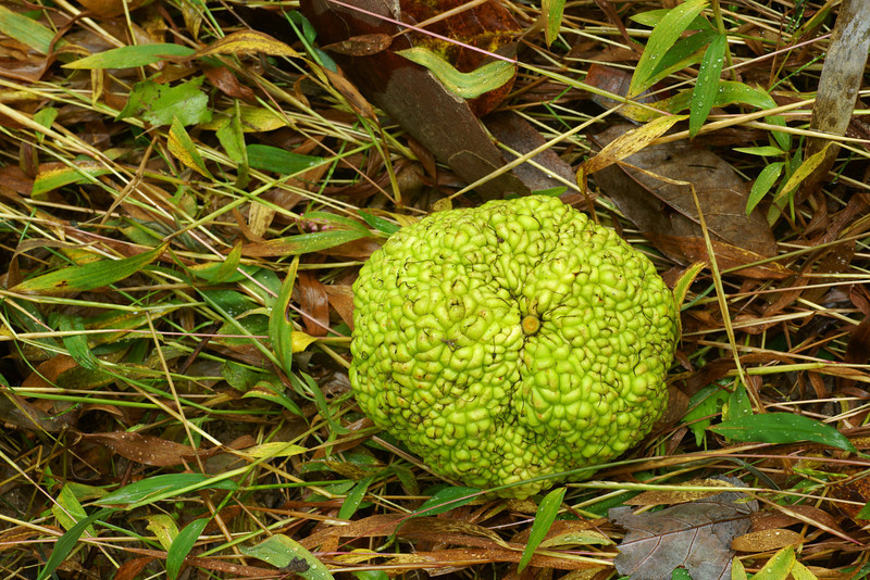 Osage Orange on grass combed by flooding creek water.