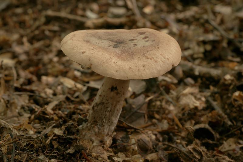 Agaricus rufus