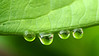 Water drops on skunk cabbage leaf