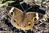 SONY DSC  - Common Buckeye - (Junonia coenia)