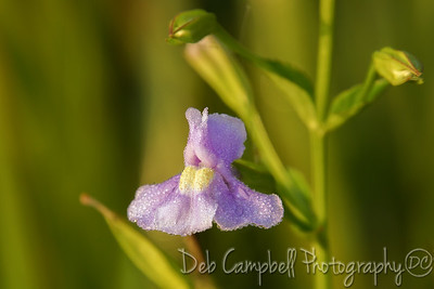 Sharp-Winged Monkeyflower