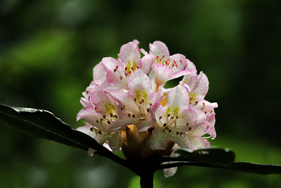 Rosebay Rhododendron Bloom
