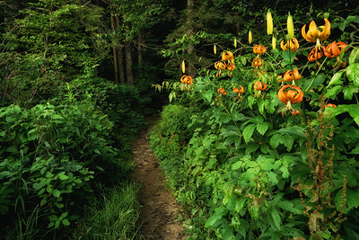 Turks Cap Lilies on the AT