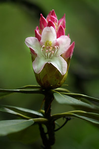 Rosebay Rhododendron Bud