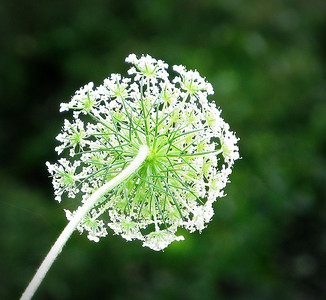 Queen Anne's Lace from the bottom