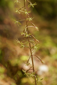 Cranefly Orchid
