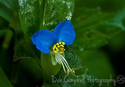Asiatic Dayflower Newfound Gap Road Great Smoky Mountains