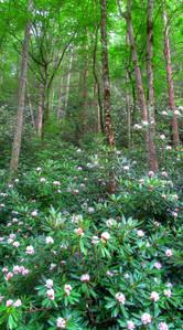 Rhododendren Super Bloom