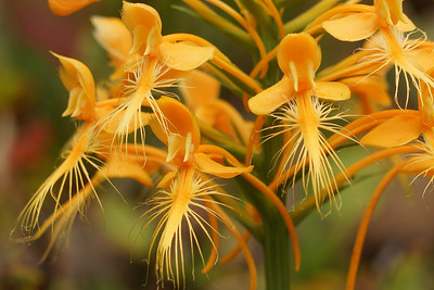 Yellow Fringed Orchid Close-up