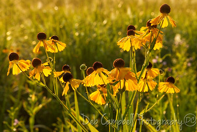 Purple Headed Sneezeweed