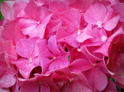 Hydrangia blossom