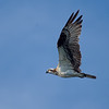 Osprey Fly By