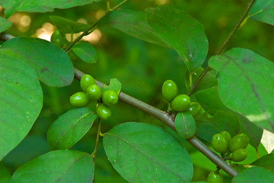 Spicebush (Lindera benzoin)  produces green berries in spring that ripen to glossy red. They make a nutritious food for migrating birds.