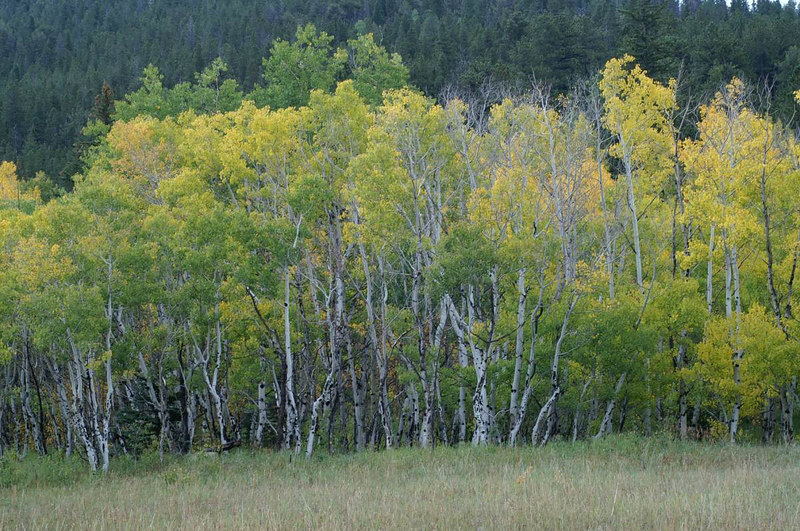 Fall color on Cold Springs Dr, Nederland, CO. Sept 8, 2006