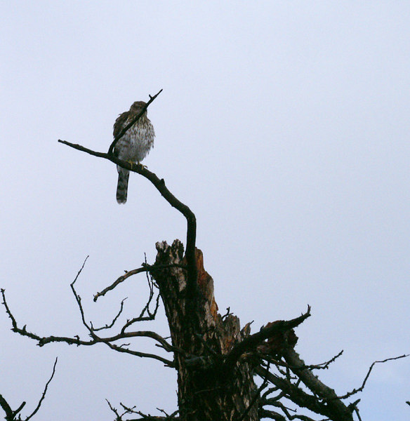 Cooper's Hawk<br /> Nederland, Colorado