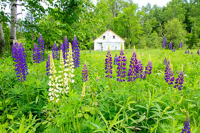 Lovely Lupines 2