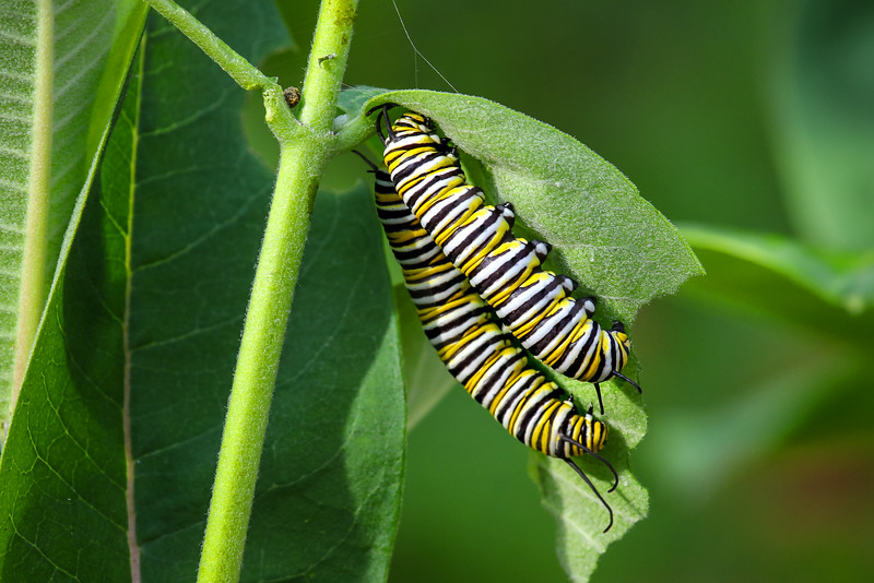Monarch Caterpillars  3
