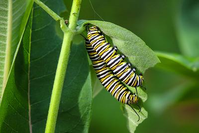 Monarch Caterpillars  3