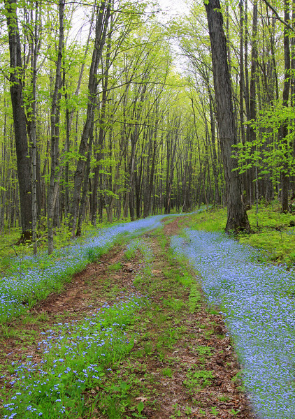 """""""  A Trip Down Forget Me Not Lane  """"<br /> <br /> FORGET ME NOT<br /> There is a little flower<br /> With a name that mean's a lot, <br /> It is the prettiest little bloom, <br /> It; s the forget me not.<br /> <br /> They are such pretty little blooms<br /> Their petals so small and blue, <br /> And as i gently tend to them<br /> I always think of you.<br /> <br /> I think of how you tended them<br /> And how you watched them grow, <br /> As you walked around your garden<br /> Which you loved so much, i know.<br /> <br /> It is a lovely flower.<br /> It does mean such a lot, <br /> And as it's name already say's<br /> I will forget you not. <br /> Wendy Thopliss<br /> <br /> Watching clouds roll by<br /> on a sunny day<br /> Who needs church?<br /> Nature is divine.<br /> ~Carrie Latet"""