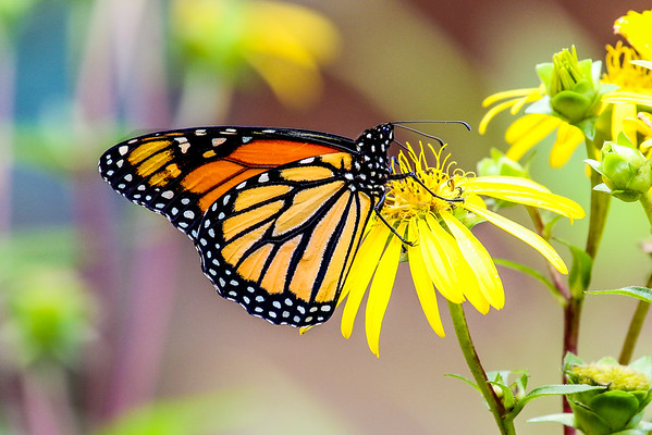The Monarchs of Summer  4